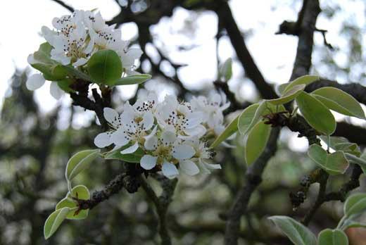 Birnenblüten