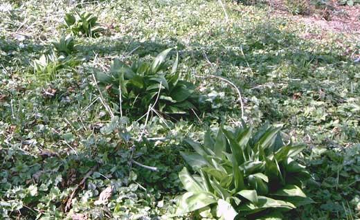 Bärlauch im Garten