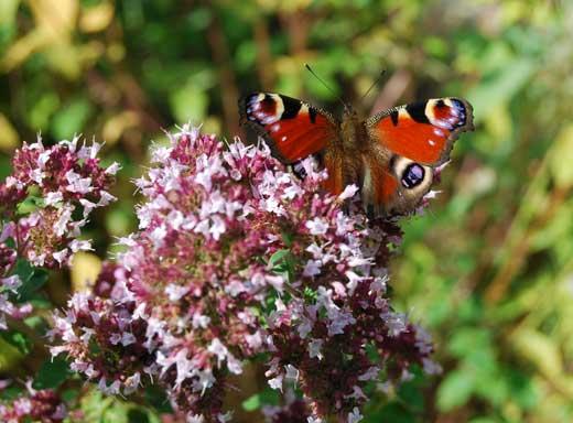 Oregano mit Schmetterling