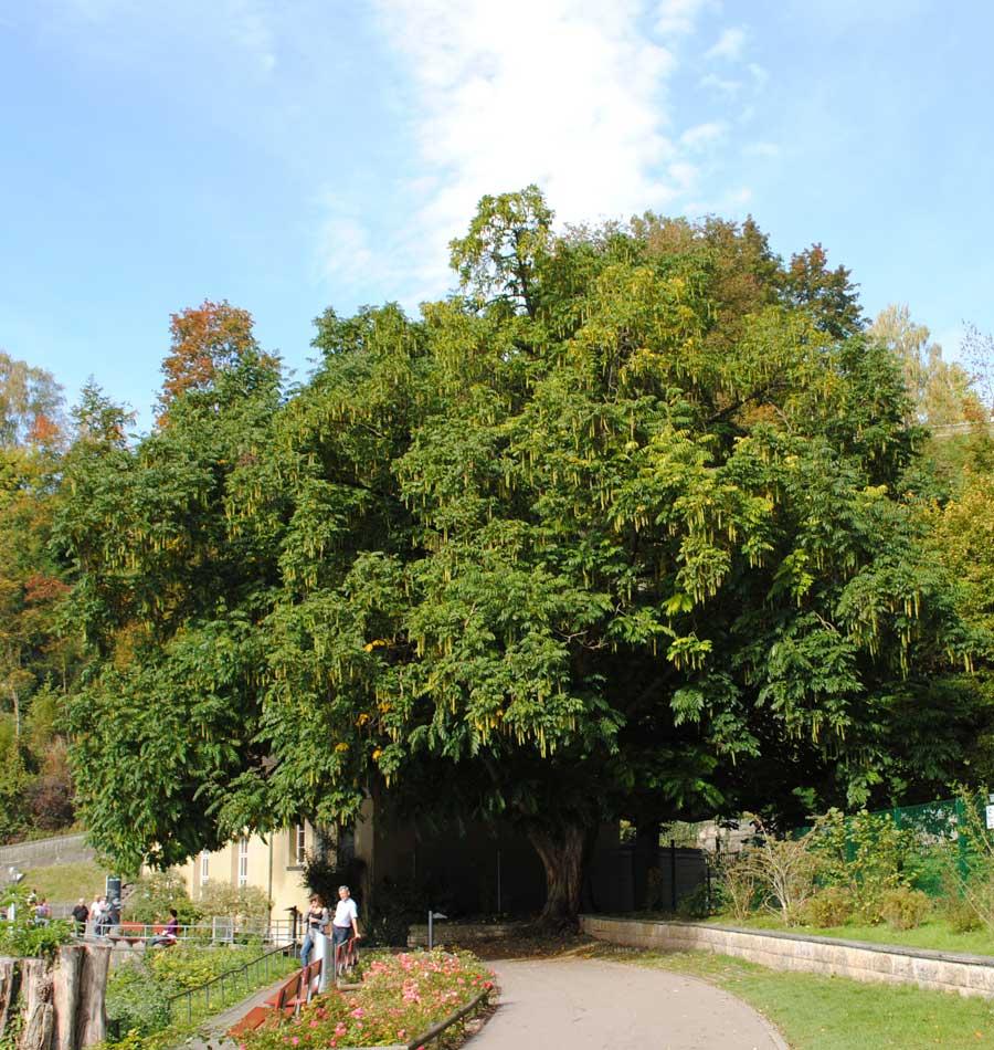 Flügelnussbaum ohne Nüsse