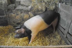 Das Bentheimer Landschwein auf dem Weg zur Hausschlachtemettwurst.