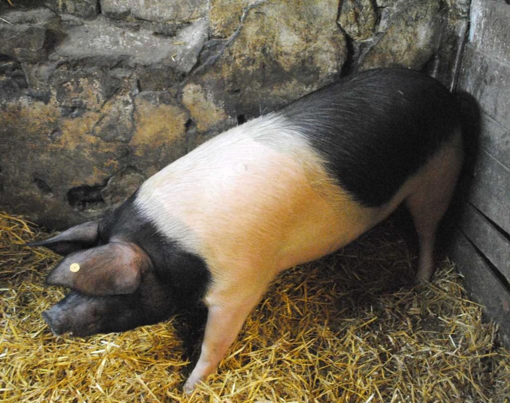 Das Mettwurst-Schwein!
