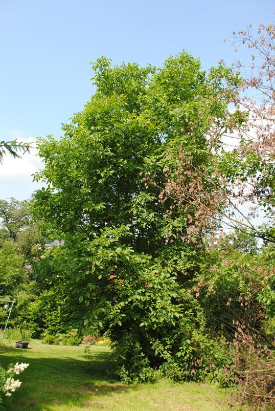 Walnusbaum