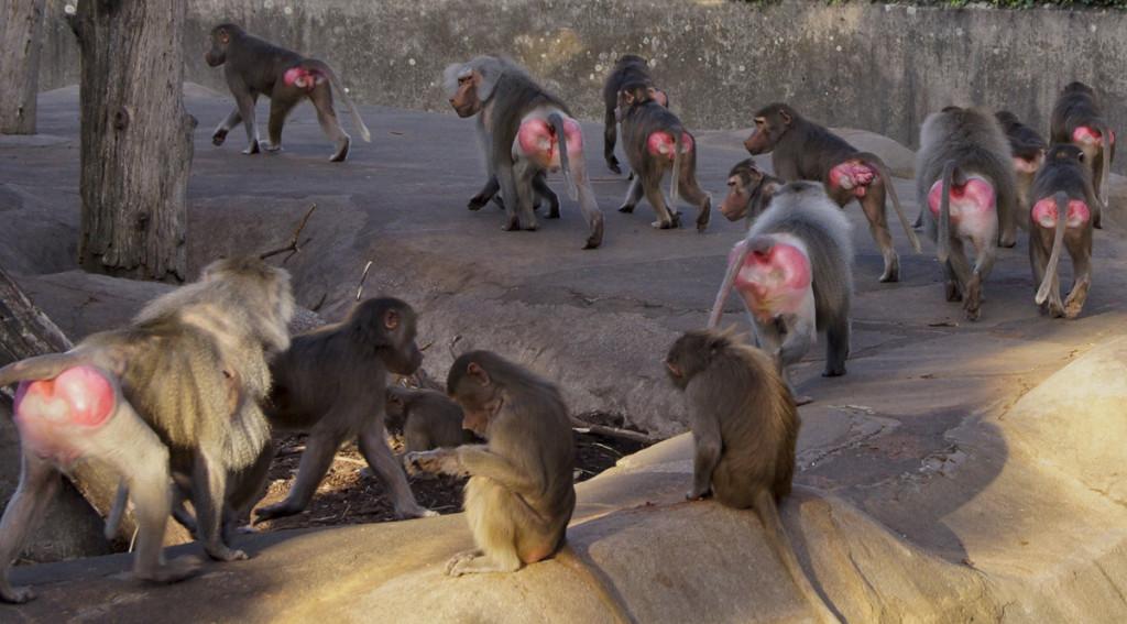 Erste Implantationsversuche an Pavianen